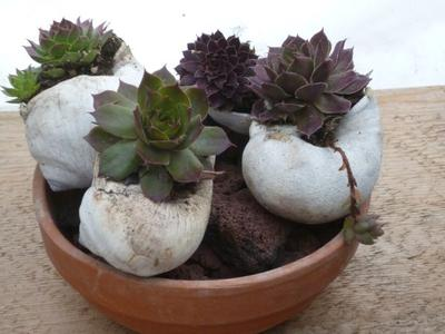 Sea Shell Sempervivum