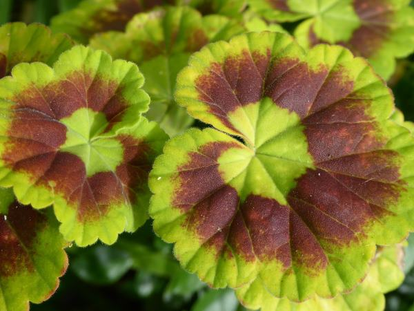 Zonal Geranium leaves
