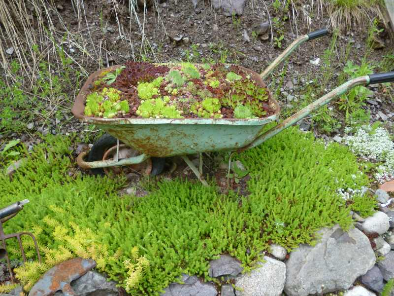 Rustic Wheelbarrow filled with Jovibarba