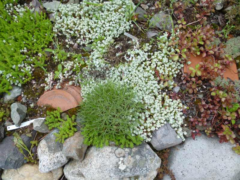 Sedum and hardy alpine plants playing well together