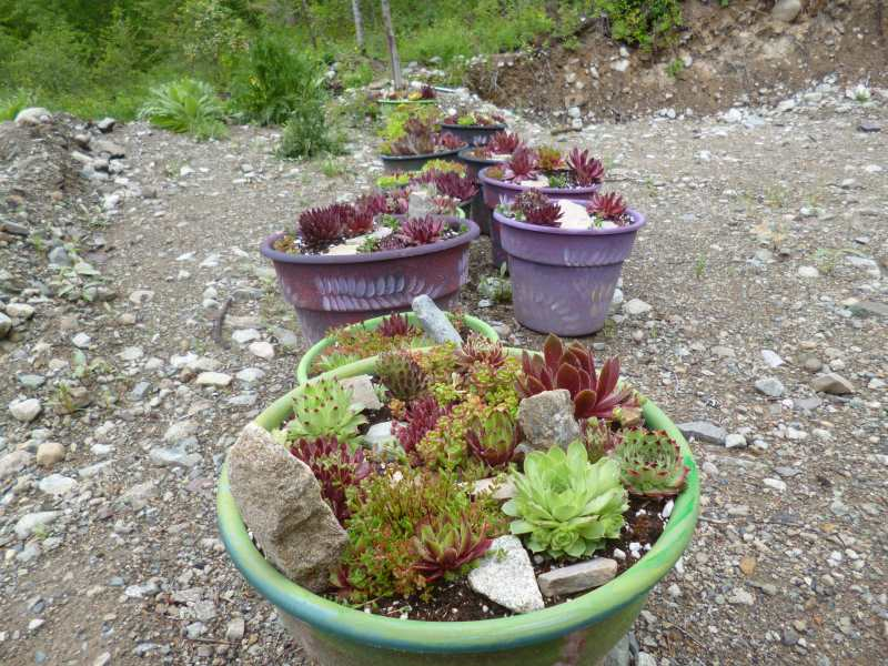 Painted pots filled with many textured Sempervivum and Sedum