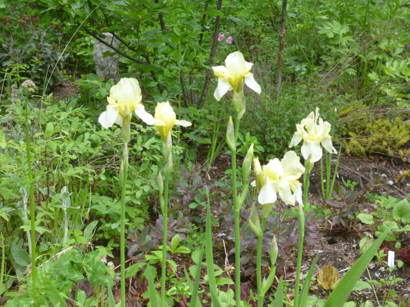 Butter cream Iris germanica