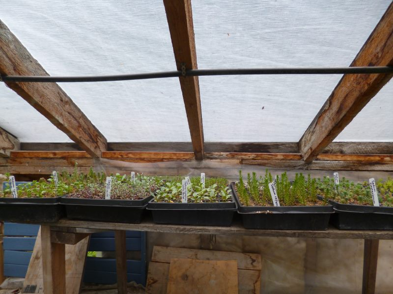 Sedum plugs are rooting quickly in the bright light close to the roof