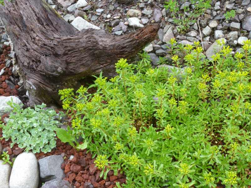 Sedum kamtschaticum is just starting to bloom...