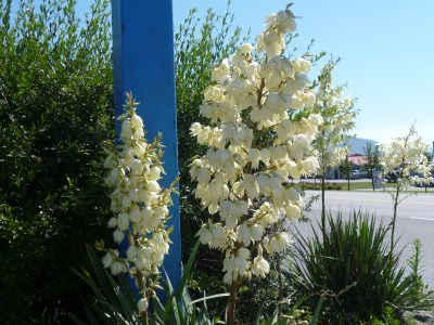 Yucca in Grand Forks as a comparison