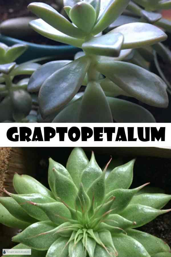 Graptopetalum, the Ghost Plant of Mexico