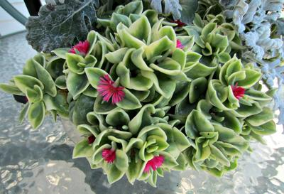 green and white succulent plant with mini hot pink flowers - Flowering House Plants Identification