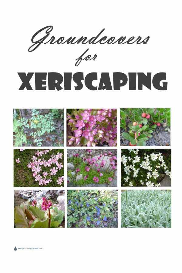 Groundcovers for Xeriscaping - some choices....