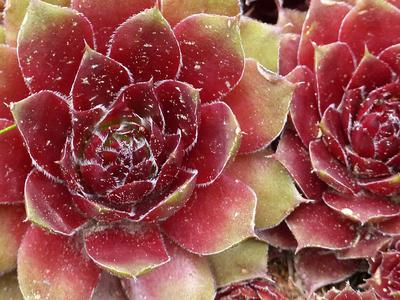Growing Hens and Chicks