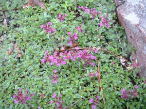Red Creeping Thyme pic