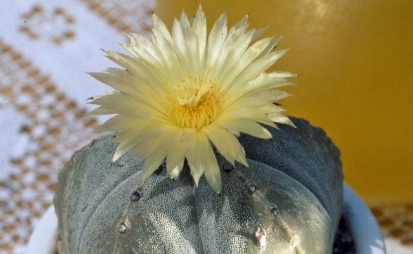 Pretty, scented flowers of Astrophytum myriostigma