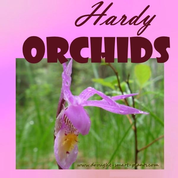 Hardy Orchids of British Columbia - fragile, yet tough wildflowers
