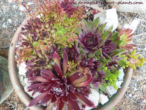 Lucky for us, there are lots of winter hardy succulents to choose from...