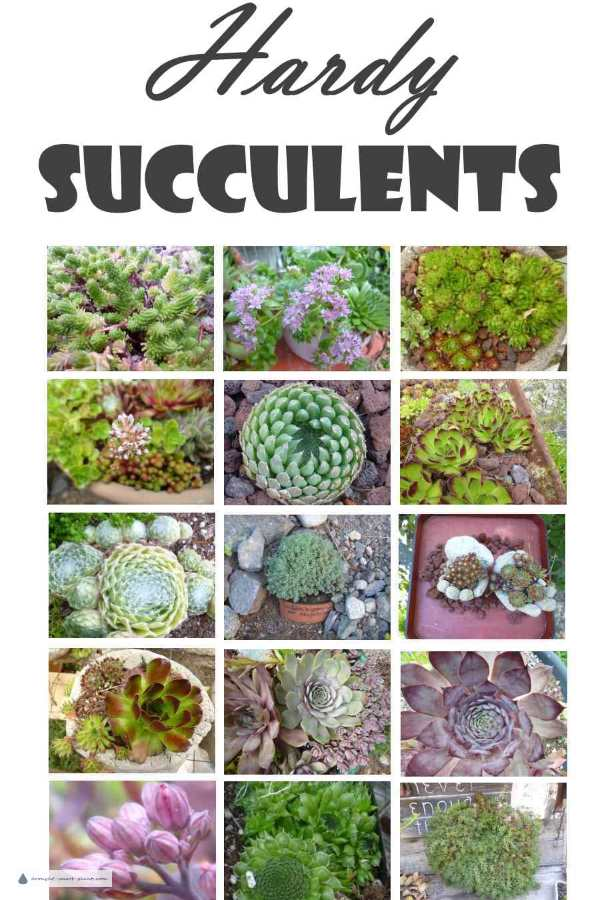 Hardy Succulents; tough and reliable in cold winter climates on