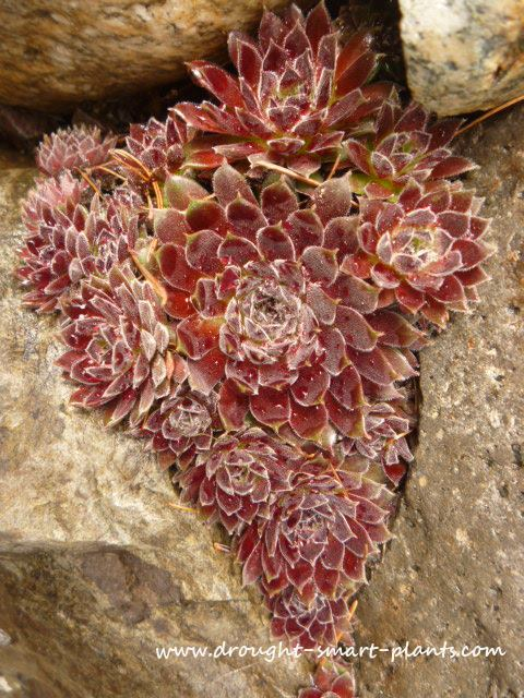 Sempervivum growing in a rock wall - in the shape of a heart...