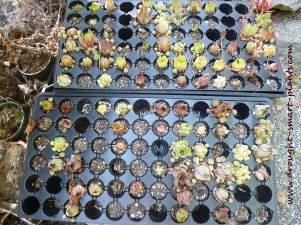 Flats of very dry Sempervivum plugs