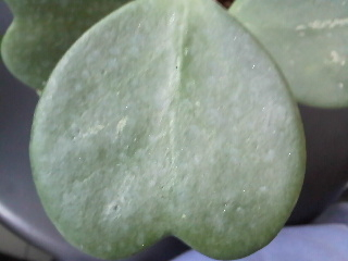 thick heart-shaped leaves