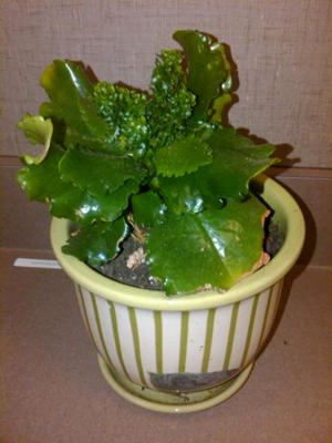 help identify a succulent house plant - Identifying House Plants By Leaves
