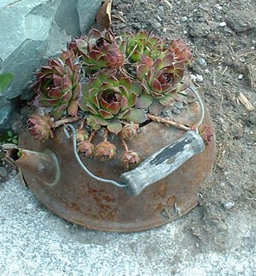 Old Rusty Kettle with Hens and Chicks