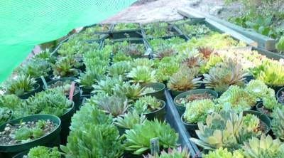 Sempervivum under shade cloth?  What's up with that?