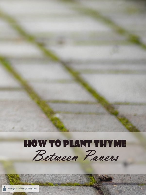 How To Plant Thyme Between Pavers