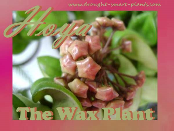Hoya - the wax plant