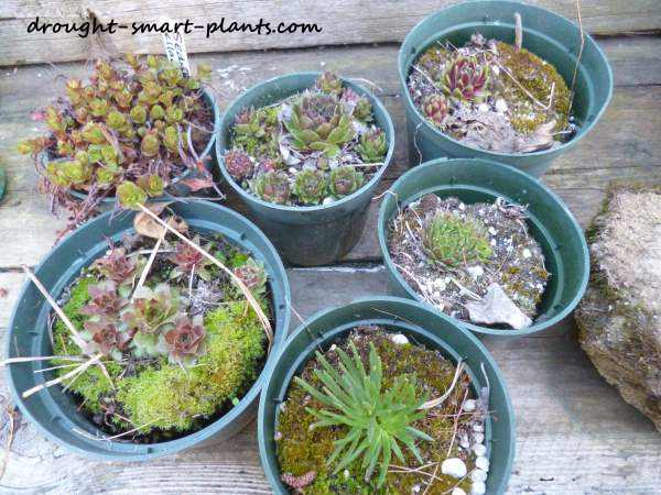 Hardy succulents and alpine plants