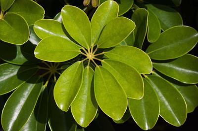 The palmate leaves of Schefflera are unmistakable