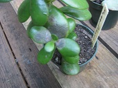 whats wrong with this jade plant1