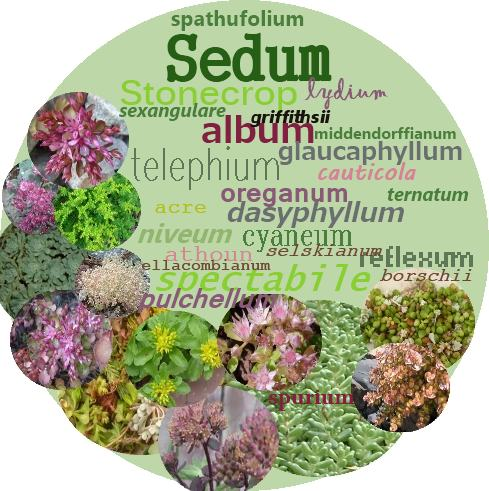 Sedum - the perfect example of tongue twisting Latin Names