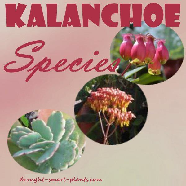 Kalanchoe Species The More The Merrier