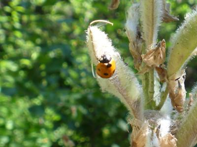 Adult ladybug on a badly infested lupin