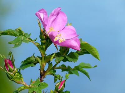 Wild Roses like sandy soil