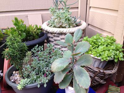 Kalanchoe, Sedum and Portulaca all dislike too much water