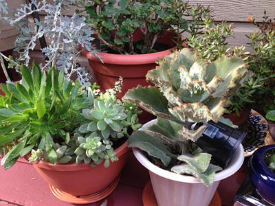 Senecio, Echeveria and more Kalanchoe - drought tolerant, not water tolerant