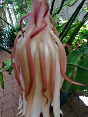 Large flat leaf succulent with soft pink white blooms mightylinksfo