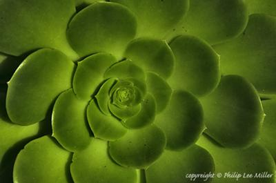 green giant succulents