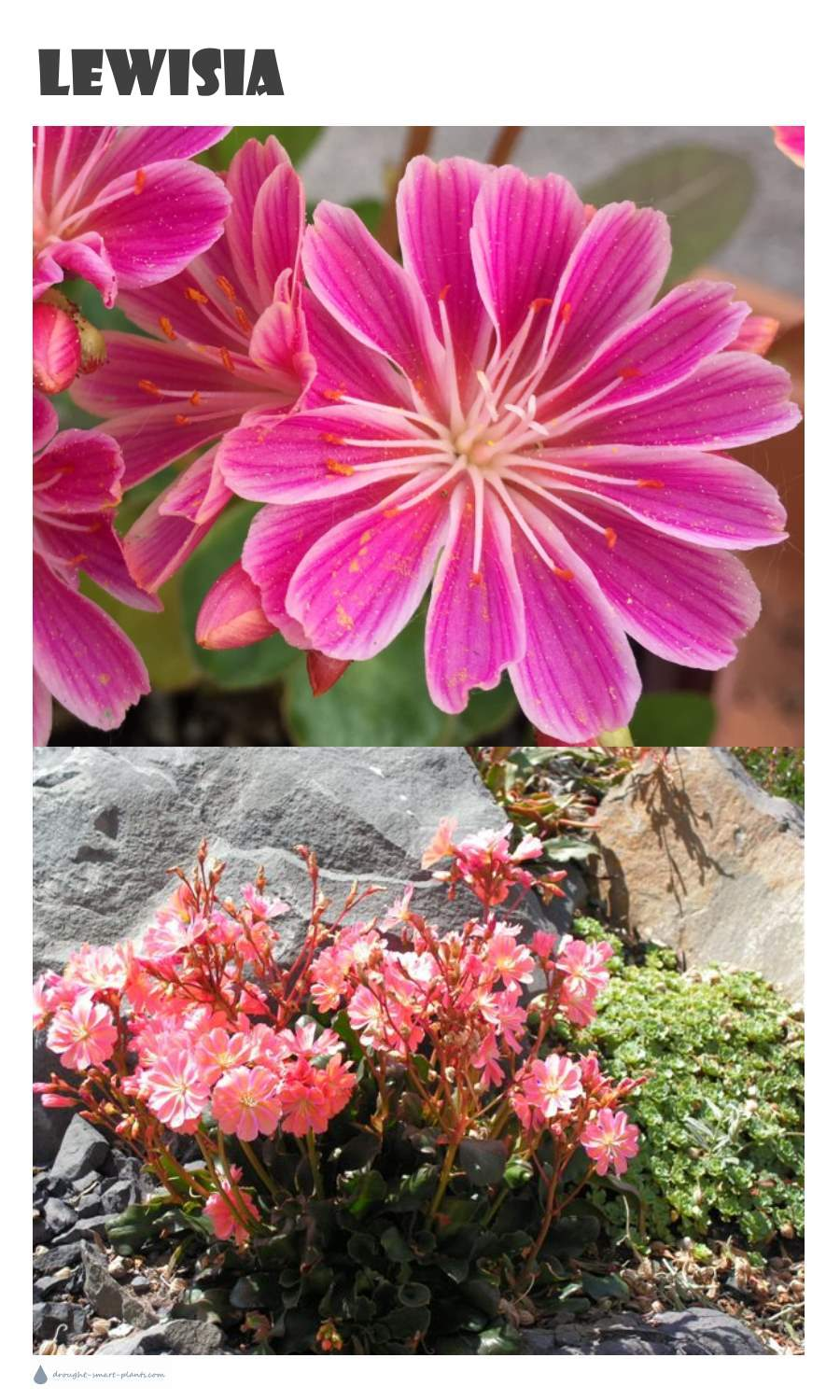 Lewisia Alpine Plant As A Companion For Hardy Succulents