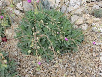 Low round succulent plant with pink flowers on on thin frail stalks mightylinksfo