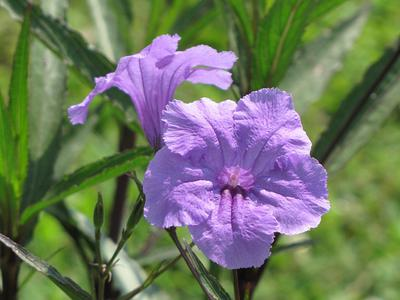 Ruellia simplex, The Mexican Petunia