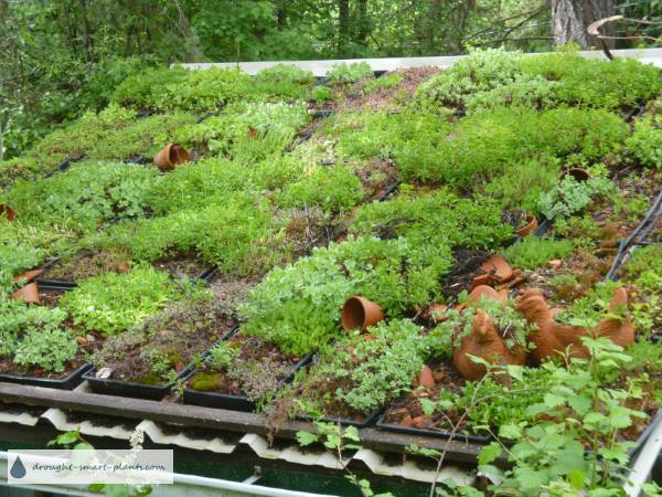 Tapestry effect of all the different species and varieties of Sedum