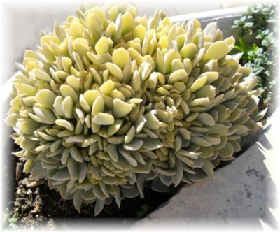 mystery monstrose succulent plant