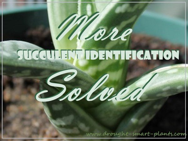 More Succulent Identification Solved...
