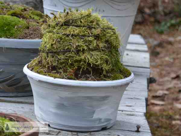 Moss Topiary, finished and waiting to root
