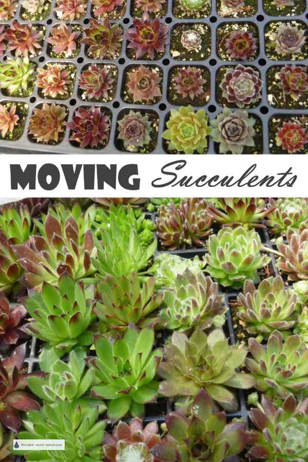 Moving Succulents