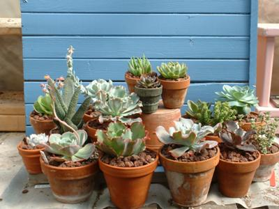Succulents in Terracotta Pots in the summer