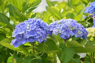 Beautiful Hydrangea blooms