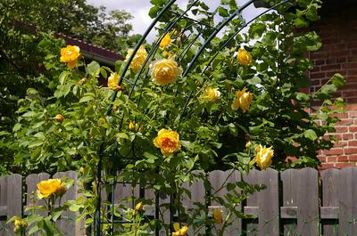 Yellow Roses growing on an archway