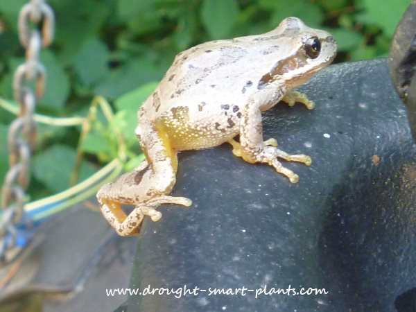 Pacific Tree Frogs need water to breed in, but spend much of their adult lives in trees...