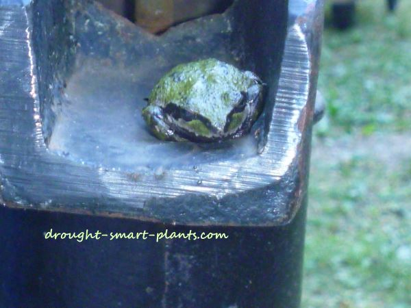 The cool dampness around the metal of the hand pump attracts Pacific Tree Frogs